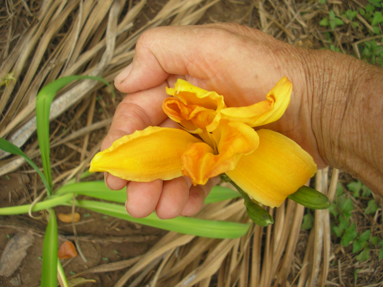Day Lilly Yellow