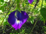 Picture of Butterfly Pea