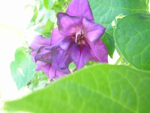 P2210016_mauve_purple_glad