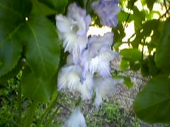 Photo0016 blue white glad